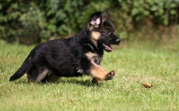маленькая немецкая овчарка