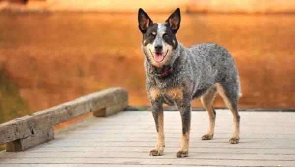 Австралийская пастушья собака (хилер)
