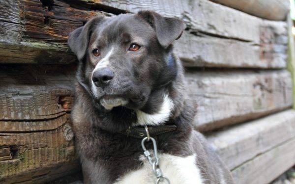 Сторожевой пес