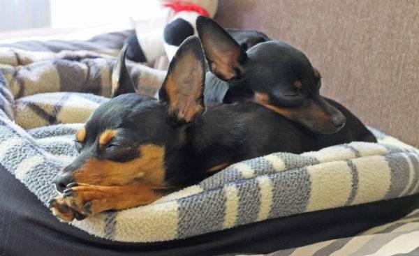 Комнатные породы собак