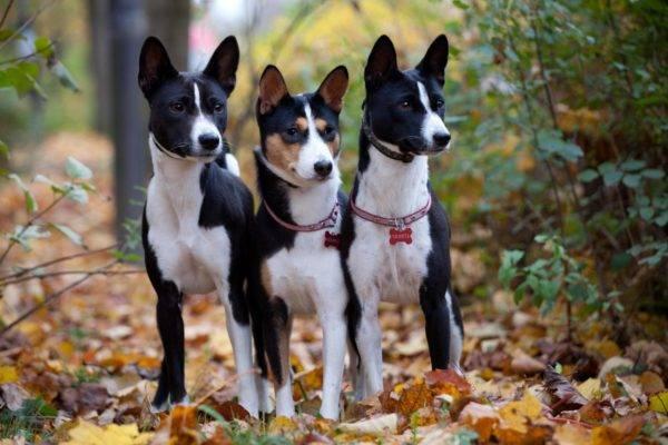 Басенджи - редкая собака