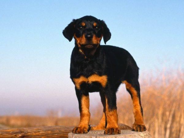 щенок ротвейлер