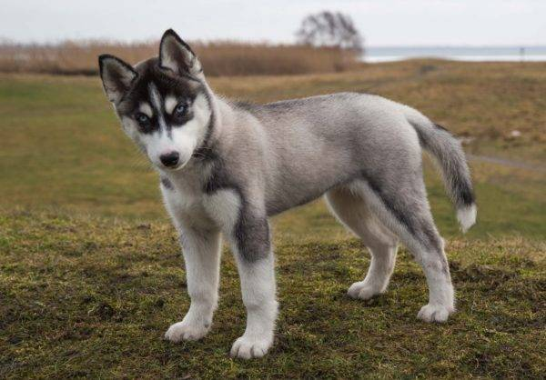 хаски-самые лучшие собаки