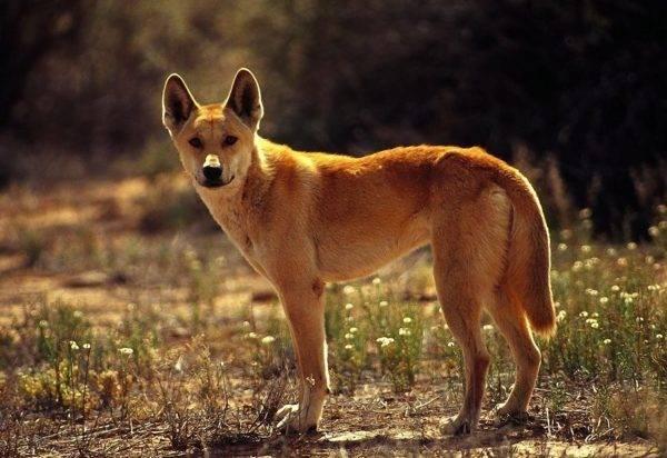 Каролинская собака (американский динго)