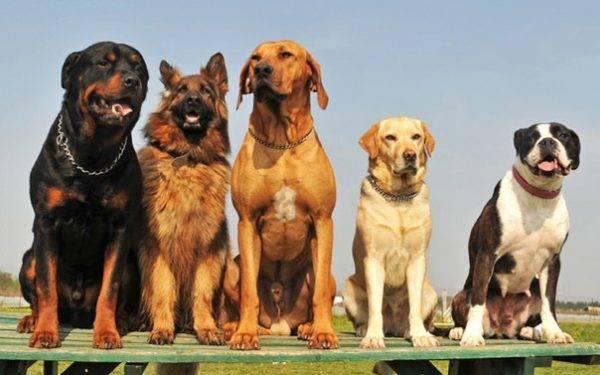 служебные собачки