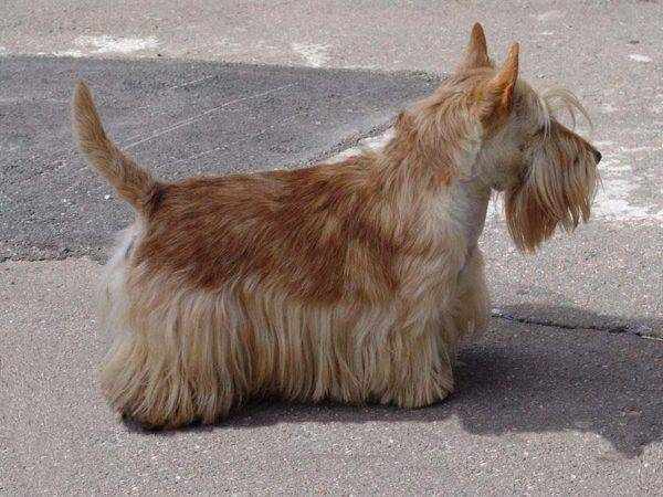 скотч-терьер желто-коричневый