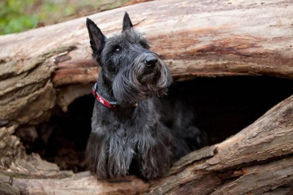 скотч-терьер на дереве