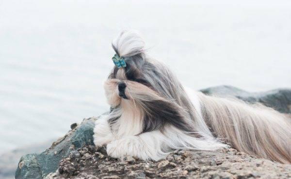 ши-тцу на море