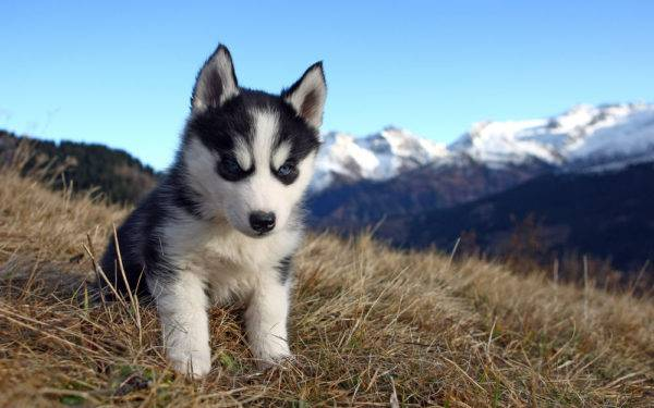 щенок хаски на траве