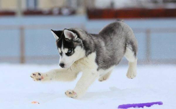 щенок хаски прыгает