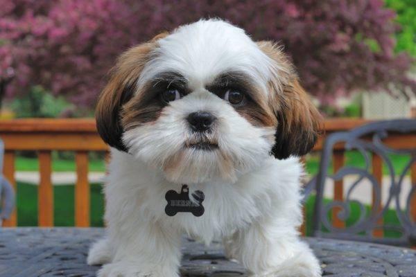 цена собаки шицу фото цена