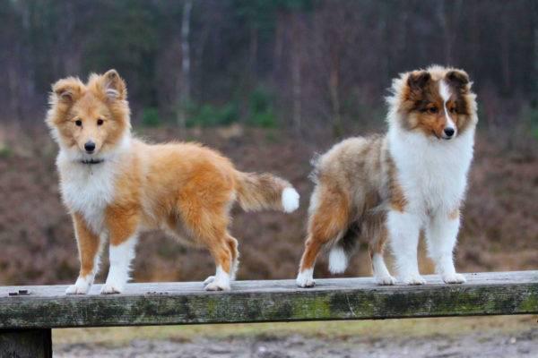 два щенка шелти