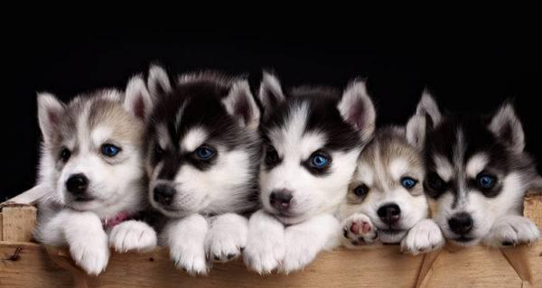 миленькие щенки хаски