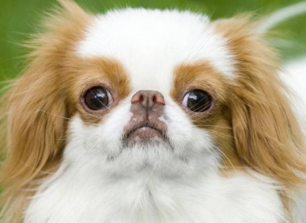 Фото японского хина собака