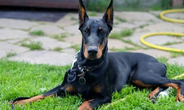 Сторожевая порода собак