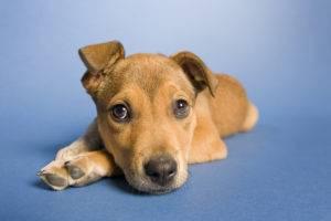 грустная собака на синем фоне