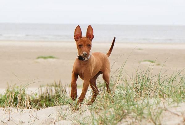 щенок Чирнеко дель Этна на море