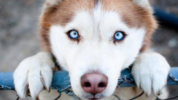 красивые глаза у собачки