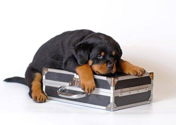 собака и чемодан