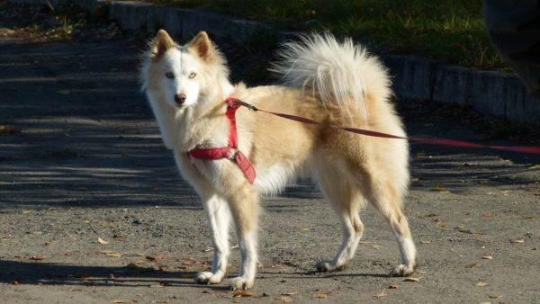Якутская лайка бело-рыжая
