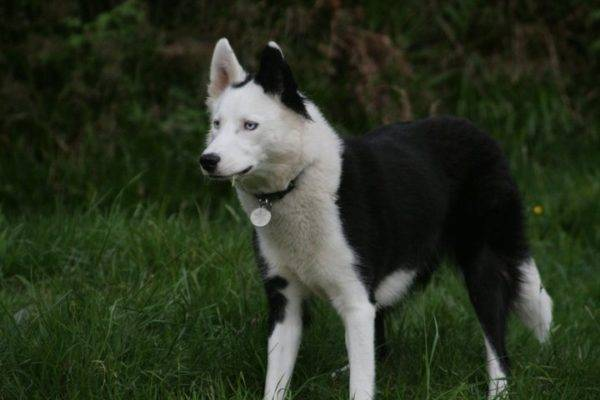 якутская лайка в лесу