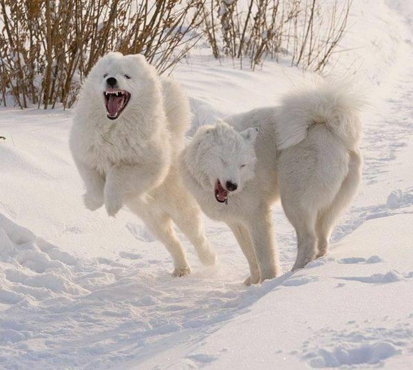 якутские лайки
