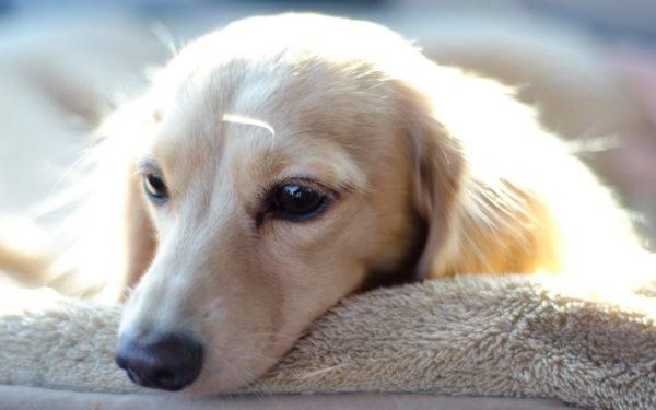 собака лежит на кроватке