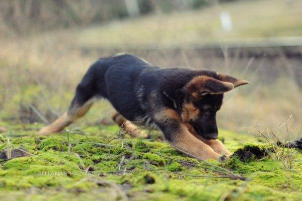 щенок немецкой овчарки играется