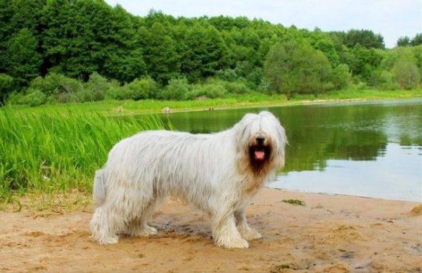 Южнорусская овчарка около озера