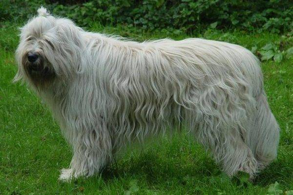 Южнорусская овчарка описание породы