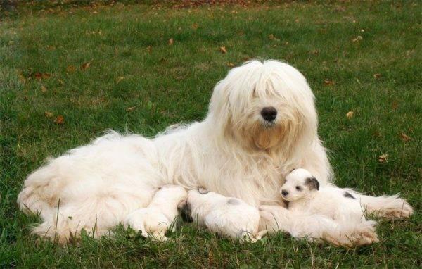 Южнорусская овчарка с щенками
