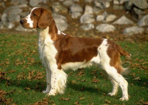 Охотничьи породы собак