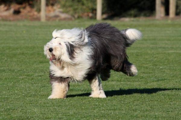 Бобтейл собака бежит