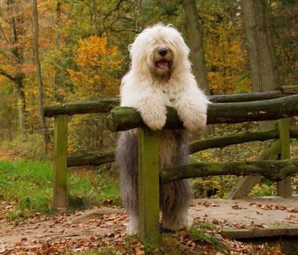 Бобтейл собака в лесу
