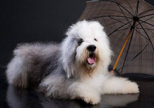 Бобтейл собака красивое фото