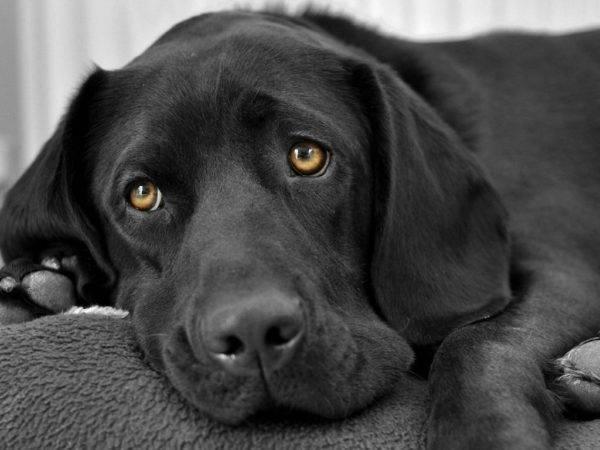 чёрная собака лежит
