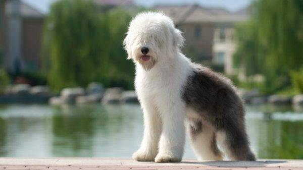 Бобтейл собака на красивом фоне