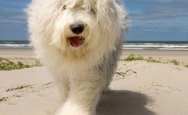 Бобтейл собака на море
