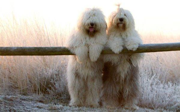 Бобтейл собаки на природе