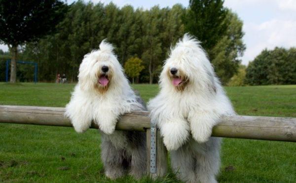 Бобтейл собаки на прогулке