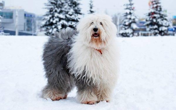 Бобтейл собачка зимой