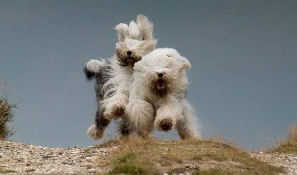 Бобтейл собачки бегут
