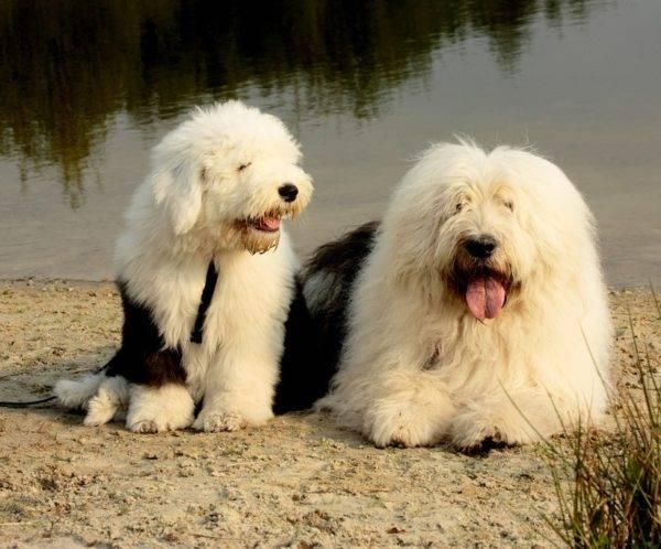 Бобтейл собачки на озере