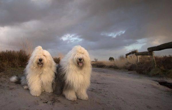 Бобтейл собачки на природе