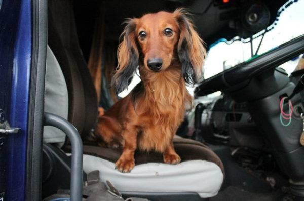 Длинношерстная такса в машине