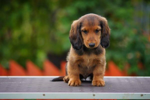Длинношерстная такса щенок сидит