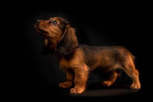 Длинношерстная такса щенок