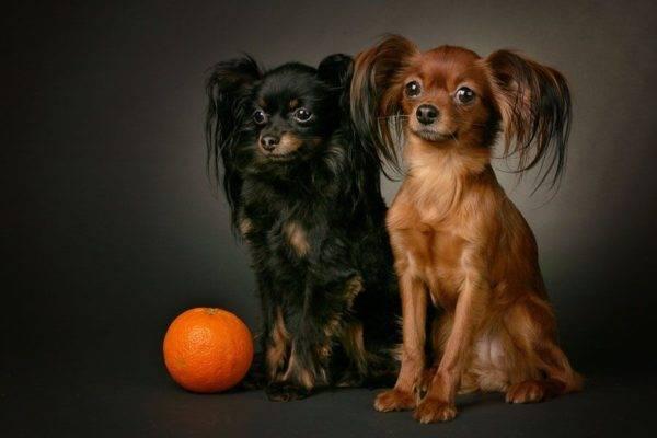 Русский той-терьер: фото собаки, цена, описание породы, характер, видео
