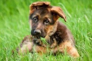 милый щенок немецкой овчарки
