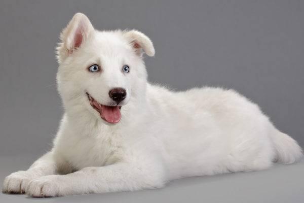 белая якутская лайка лежит